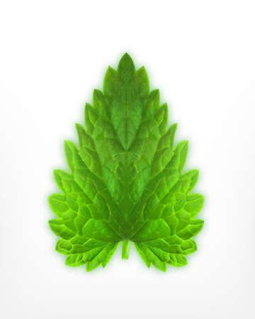 mint leaf: Fresh mint leaf