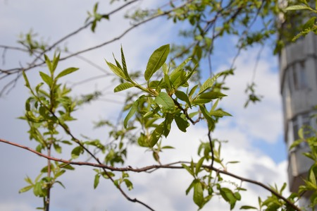 elm: elm blossoms Stock Photo