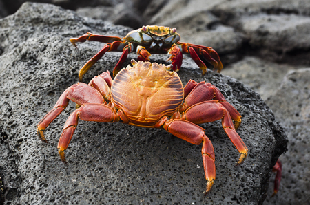 Typical crab, Galapagos, Ecuador