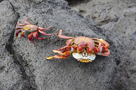 abound: Zayapas crabs abound on the rocks of the Galapagos Islands
