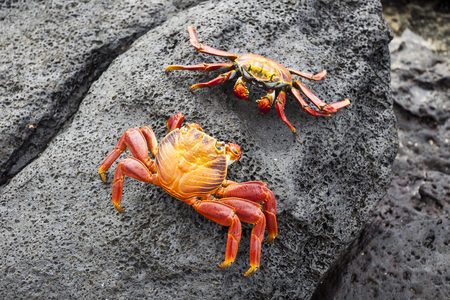 berfluss: Zayapas crabs abound on the rocks of the Galapagos Islands