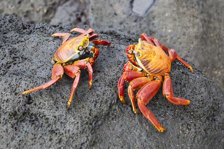 the crab: Cangrejos zayapas abundan en las rocas de las Islas Gal�pagos