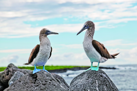 booby: Blue-footed booby in courtship dance on the rocks, Galapagos