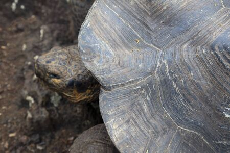 ancient turtles: The shell of an adult Galapagos turtle