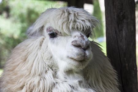 alpaca: Alpaca head, ready to shear, Ecuador