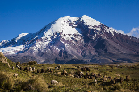 inactive: Chimborazo volcano and sheep on the moor, Andes, Ecuador Stock Photo