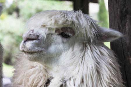 shear: Alpaca head, ready to shear, Ecuador