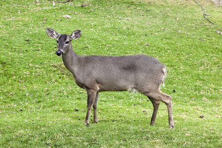 hatchery: Whitetail deer hatchery, Andes, Cayambe, Ecuador