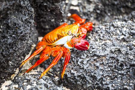 bn: Zayapas crabs on the rocks of the Galapagos Islands