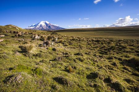 moor: Chimborazo volcano and sheep on the moor, Andes, Ecuador Stock Photo
