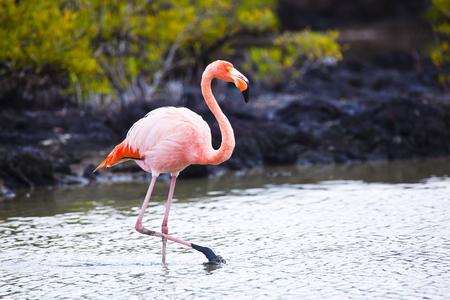 santa cruz: Flamingos alimentandose en Playa bachas, Isla Santa Cruz, Galapagos