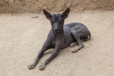 hairless: Peruvian Hairless dog, Trujillo, Per�. Stock Photo