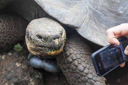 land turtle: Galapagos giant tortoise on the island San Cristobal, Enchanted Islands