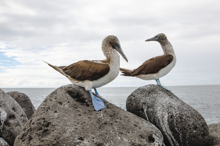 courtship: Blue-footed booby in courtship dance on the rocks, Galapagos