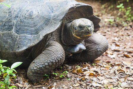 cristobal: Galapagos giant tortoise on the island San Cristobal, Enchanted Islands