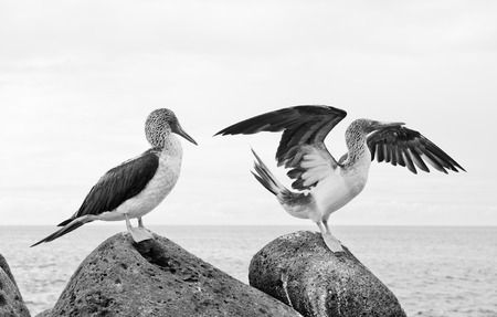 boobie: Blue-footed booby in courtship dance on the rocks, Galapagos