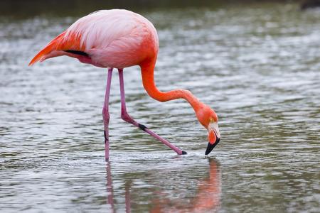 playa: Flamingos alimentandose en Playa bachas, Isla Santa Cruz, Galapagos