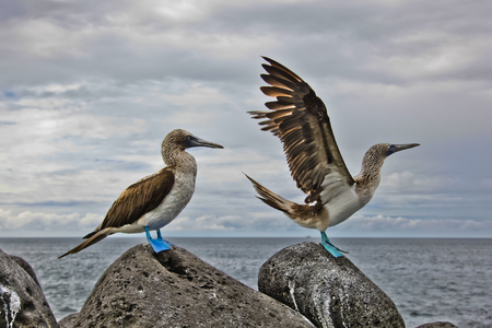 Blue-footed booby in courtship dance on the rocks, Galapagos