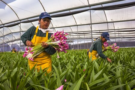 Guaillabamba, Ecuador- MAY 14, 2015: Unidentified women picking flowers in a specialized greenhouse crops. Editorial