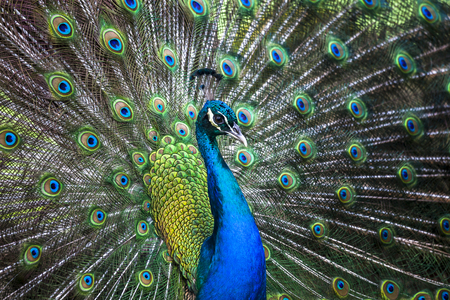 Peacock showing its extended tail feathers