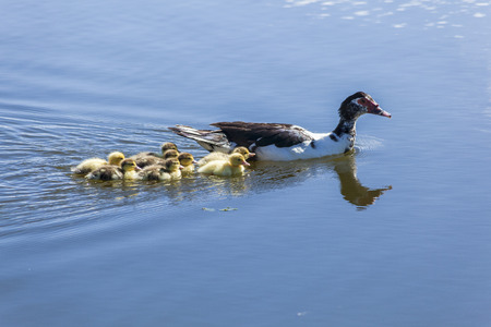 mama: Mama duck and her ducklings, in water