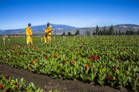 Guayllabamba, Ecuador - MAY 14, 2015: Technical wearing appropriate clothing, fumigating a flower plantation outdoors. Editorial