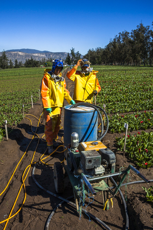 appropriate: Guayllabamba, Ecuador - MAY 14, 2015: Technical wearing appropriate clothing, fumigating a flower plantation outdoors. Editorial