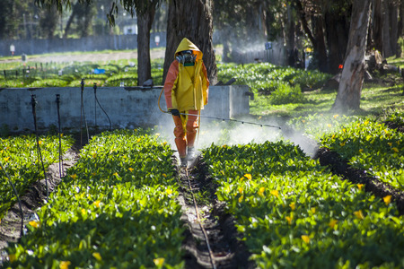 fumigador: Guayllabamba, Ecuador - 14 de mayo, 2015: T�cnico que lleva la ropa apropiada, la fumigaci�n de una plantaci�n de flores al aire libre.