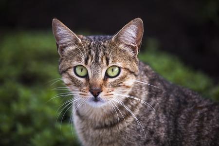 Tabby cat, green eyes, looking straight ahead