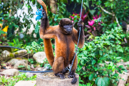 os: Simian of the Ecuadorian Amazon, prisoner by settlers from the region Stock Photo