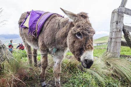 Donkey in an Ecuadorian farm at Chimborazo