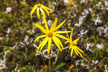 Flower in the moor of El Altar Sangay National Park