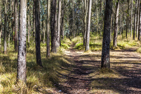 walking trail: Walking trail or bike in eucalyptus wood