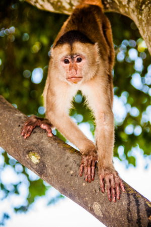 Capuchin monkey standing on a tree branch