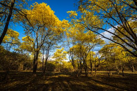 Trees of guayacan in flowering season. Ecuador, Loja Stock Photo