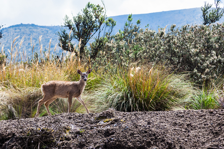 White-tailed deer surprised at the roadside next to scrub bushes in the Cotopaxi National Park