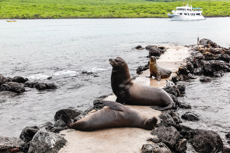 Sea lions lying on the pedestrian path, and a tourist boat in the background in the Galapagos Islands
