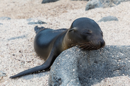 Sea lion baby rests his head on a rock on the beaches of the Galapagos Islands
