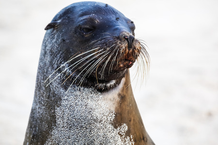 Head of Sea Lion showing its whiskers, Santa Fe, Galapagos. Stock Photo