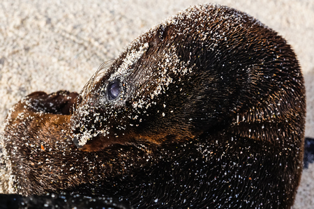 Sea lion baby covered in sand and looking at us, Galapagos. Stock Photo