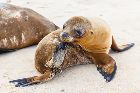 Sea lion baby on the beaches of the Galapagos Islands Stock Photo