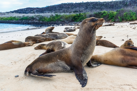 Group of sea lions on the beaches of Galapagos, Santa Fe