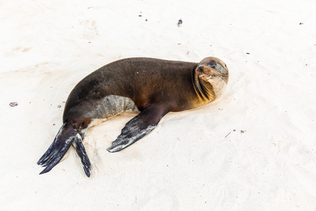Young sea lion lying in the sand on the beaches of Galapagos