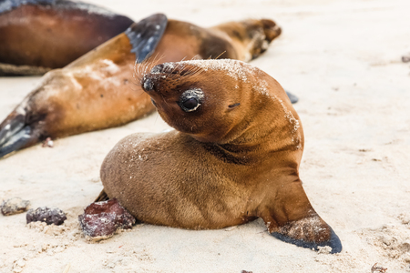 Baby sea lions imitating adult gestures on the beaches of Galapagos