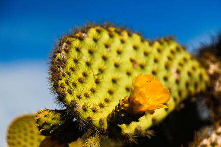 Opuntia cactus flower, South Plaza, Galapagos Islands