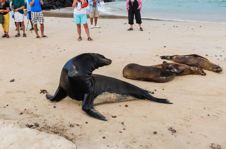 Group of unidentified tourists watching a group of sea lions on the beach of Galapagos