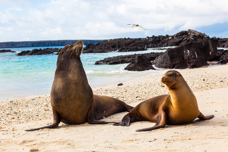 Couple of sea lions on the beach of Genovesa Island, Galapagos
