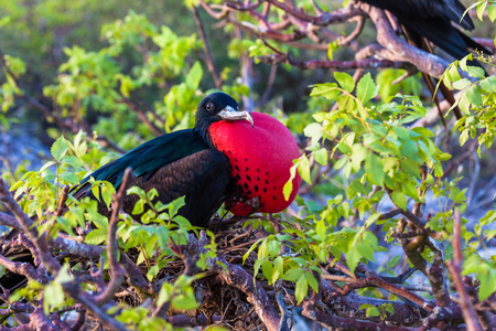 Male frigate perched on the tree branches with its inflated red craw Banco de Imagens