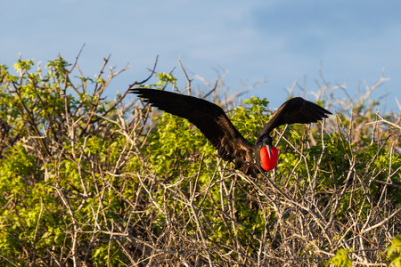 Male frigate perching on the tree branches, Galapagos