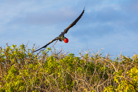 Male frigate in full flight with his inflated red craw